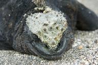 "<strong>Location:</strong> Urbina, Galapagos Islands (Urbina (Galapagos Islands), Ecuador)<br /><strong>Author:</strong> <a href=""http://calphotos.berkeley.edu/cgi/photographer_query?where-name_full=Gerald+and+Buff+Corsi&one=T"">Gerald and Buff Corsi</a>"
