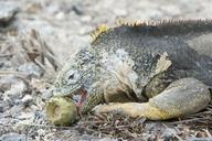 """<strong>Location:</strong> Plaza Island (Galapagos Islands, Ecuador)<br /><strong>Author:</strong> <a href=""""http://calphotos.berkeley.edu/cgi/photographer_query?where-name_full=Gerald+and+Buff+Corsi&one=T"""">Gerald and Buff Corsi</a>"""