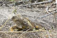 """<strong>Location:</strong> Urbina (Galapagos Islands, Ecuador)<br /><strong>Author:</strong> <a href=""""http://calphotos.berkeley.edu/cgi/photographer_query?where-name_full=Gerald+and+Buff+Corsi&one=T"""">Gerald and Buff Corsi</a>"""
