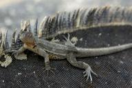 "Lava Lizard on Marine Iguana<br /><strong>Location:</strong> Galapagos Islands, Ecuador<br /><strong>Author:</strong> <a href=""http://calphotos.berkeley.edu/cgi/photographer_query?where-name_full=Gerald+and+Buff+Corsi&one=T"">Gerald and Buff Corsi</a>"