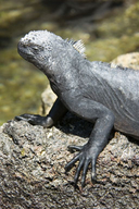 "<strong>Location:</strong> Galapagos Islands, Ecuador<br /><strong>Author:</strong> <a href=""http://calphotos.berkeley.edu/cgi/photographer_query?where-name_full=Gerald+and+Buff+Corsi&one=T"">Gerald and Buff Corsi</a>"