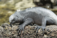 "<strong>Location:</strong> Galapagos Islands, Ecuador<br /><strong>Author:</strong> <a href=""http://calphotos.berkeley.edu/cgi/photographer_query?where-name_full=Gerald+and+Buff+Corsi&one=T"">Gerald and Buff Corsi</a>"