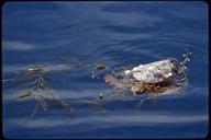 "<strong>Location:</strong> Near San Benitos Island, Pacific Coast of Baja (Mexico)<br /><strong>Author:</strong> <a href=""http://calphotos.berkeley.edu/cgi/photographer_query?where-name_full=Gerald+and+Buff+Corsi&one=T"">Gerald and Buff Corsi</a>"