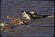 "<strong>Location:</strong> Masai Mara Game Reserve (Kenya)<br /><strong>Author:</strong> <a href=""http://calphotos.berkeley.edu/cgi/photographer_query?where-name_full=Gerald+and+Buff+Corsi&one=T"">Gerald and Buff Corsi</a>"
