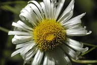 Erigeron coulteri