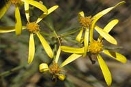 Senecio spartioides