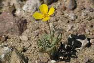 Eschscholzia minutiflora