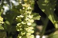 Lepidium lasiocarpum ssp. lasiocarpum