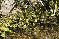 Ranunculus hydrocharoides