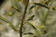 Cleomella plocasperma