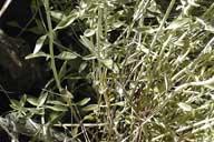 Monardella linoides