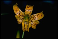Lilium pardalinum ssp. wigginsii
