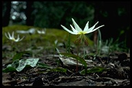 Roderick's Fawn-lily