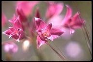 Allium crispum