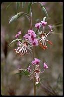 Clarkia tembloriensis ssp. tembloriensis