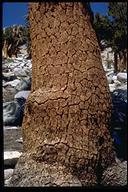 Pinus balfouriana ssp. austrina