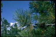 Pinus sp.