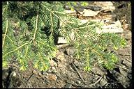 Abies concolor ssp. lowiana