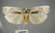 Antaeotricha schlaegeri
