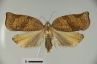 Choristoneura rosaceana