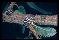 Gossyparia spuria