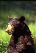 Ursus americanus