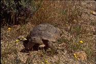 """<strong>Location:</strong> Mojave National Preserve (North America)<br /><strong>Author:</strong> <a href=""""http://calphotos.berkeley.edu/cgi/photographer_query?where-name_full=Gerald+and+Buff+Corsi&one=T"""">Gerald and Buff Corsi</a>"""