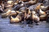 Northern Steller's Sea Lions