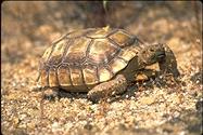 "<strong>Location:</strong> Mojave National Preserve (San Bernardino County, California, US)<br /><strong>Author:</strong> <a href=""http://calphotos.berkeley.edu/cgi/photographer_query?where-name_full=Gerald+and+Buff+Corsi&one=T"">Gerald and Buff Corsi</a>"