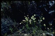 Limnanthes douglasii ssp. striata