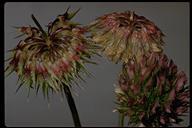 Trifolium ciliolatum