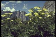 Heracleum sphondylium ssp. montanum