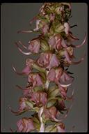 Pedicularis groenlandica