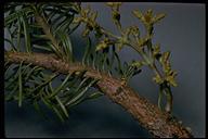 Arceuthobium monticola