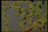 Herniaria hirsuta var. cinerea