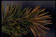 Pinus contorta ssp. murrayana