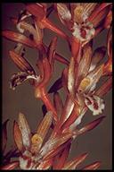 Corallorhiza maculata