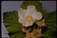 Rubus parviflorus