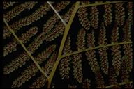 Athyrium filix-femina var. cyclosorum