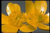 Ranunculus orthorhynchus