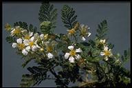 Chamaebatia foliolosa