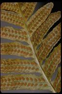 Polypodium sp.
