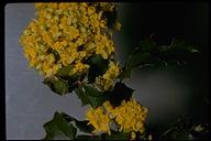Mahonia sp.