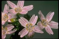 Claytonia sibirica