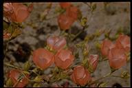 Sphaeralcea ambigua