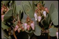 Arctostaphylos sp.