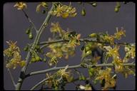 Parkinsonia florida