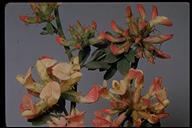 Acmispon cytisoides