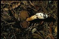 Cortinarius alboviolaceus