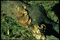 Crepidotus mollis